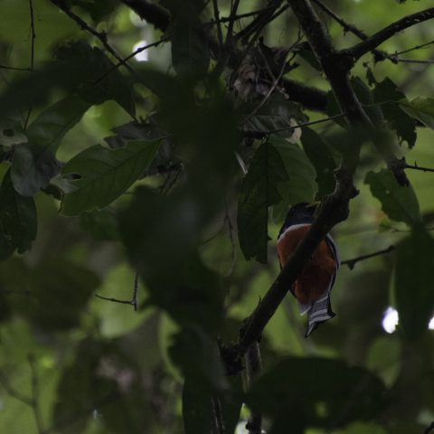 curucui, Oiseau, Trogon