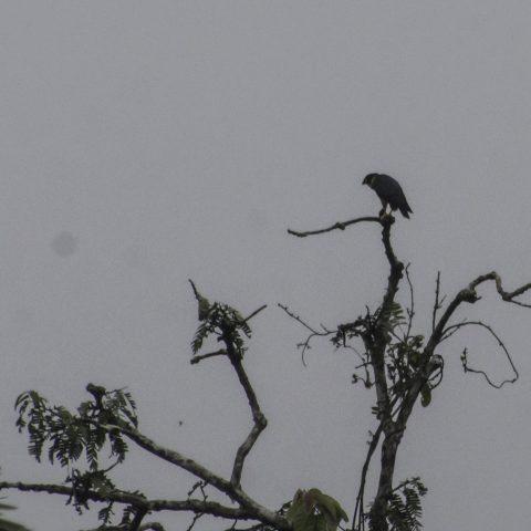 deiroleucus, Falco, Oiseau