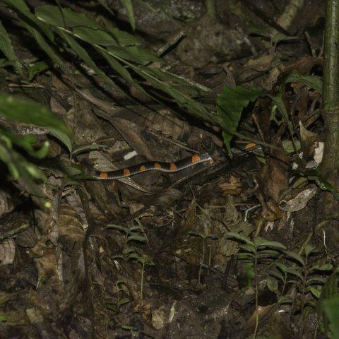 digitalis, Oxyrhopus, petola, Reptile