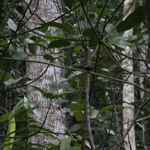 erythrocephala, Oiseau, Pipra
