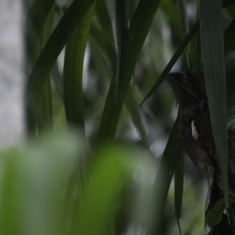 griseus, Nyctibius, Oiseau