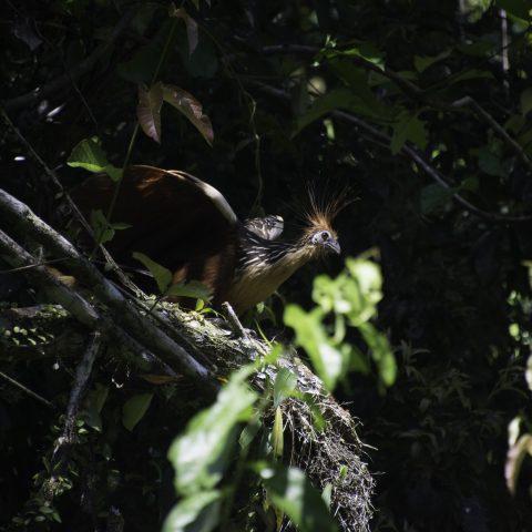 hoazin, Oiseau, Opisthocomus