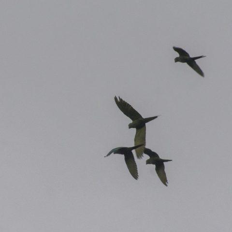 manilata, Oiseau, Orthopsittaca-2