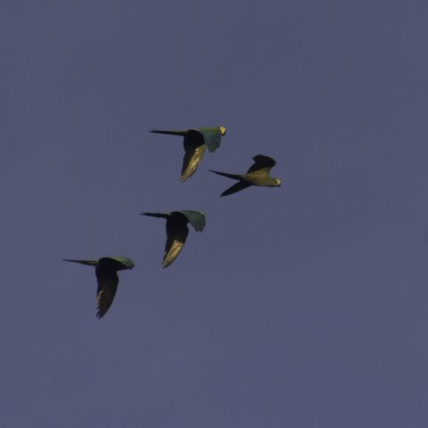 manilata, Oiseau, Orthopsittaca-3
