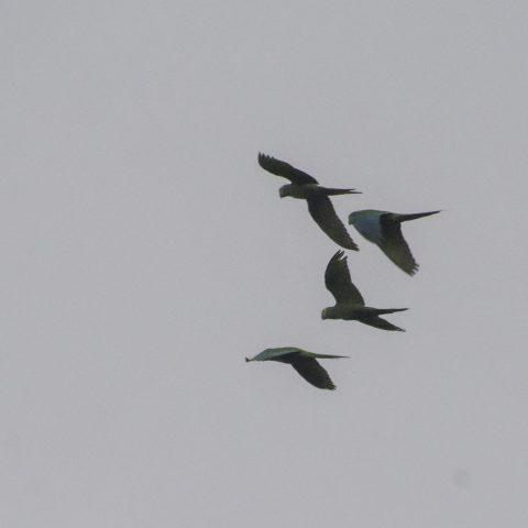 manilata, Oiseau, Orthopsittaca