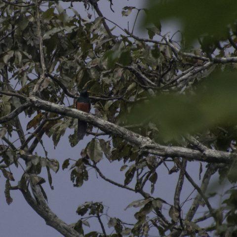 melanurus, Oiseau, Trogon
