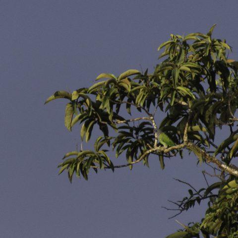 menstruus, Oiseau, Pionus-2