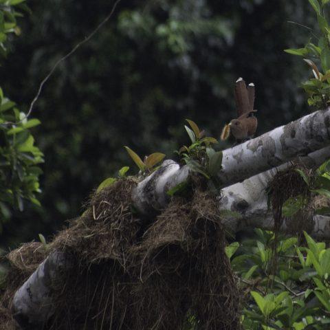 minuta, Oiseau, Piaya