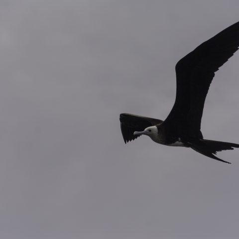 Fregata, magnificens, Oiseau