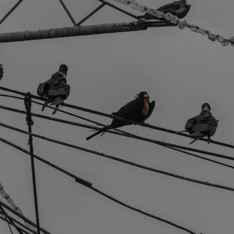 Fregata, magnificens, Oiseau-5