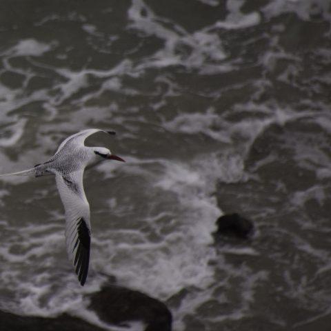 aethereus, Oiseau, Phaethon-3