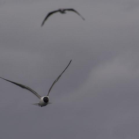 atricilla, Larus, Oiseau