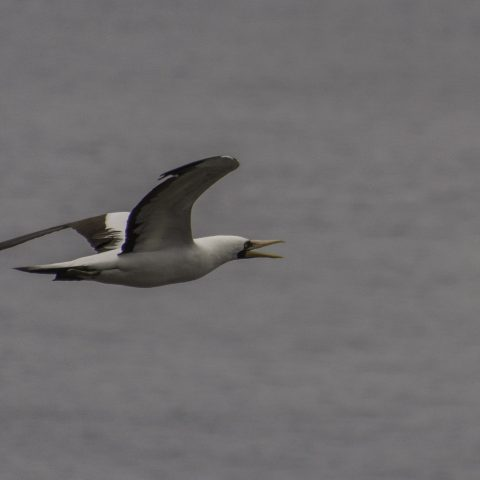 dactylatra, Oiseau, Sula