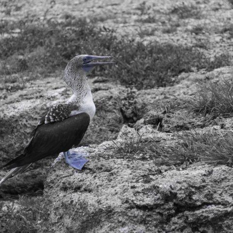nebouxii, Oiseau, Sula-2