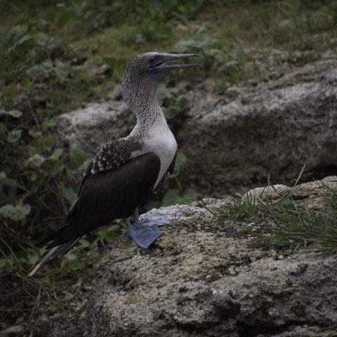 nebouxii, Oiseau, Sula