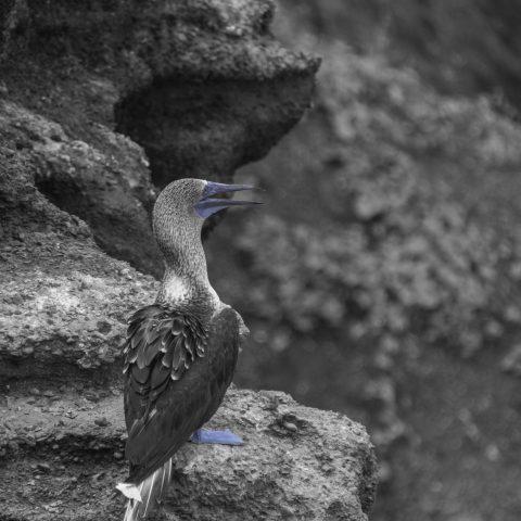 nebouxii, Oiseau, Sula-7