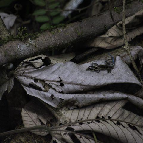 Ameiva, Reptile, septemlineata-6