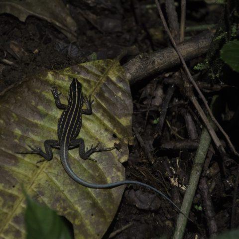 Ameiva, Reptile, septemlineata-8