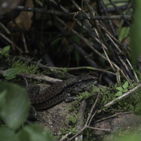 Ameiva, edracantha, Reptile-2