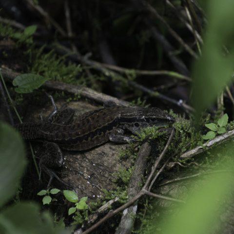 Ameiva, edracantha, Reptile-4