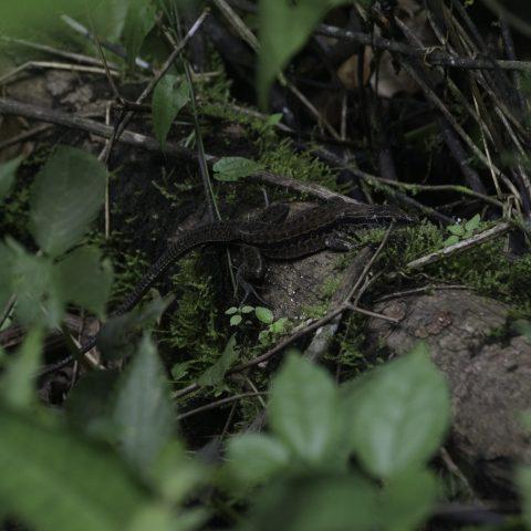 Ameiva, edracantha, Reptile-5