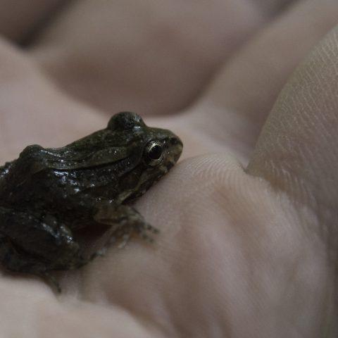 Amphibien-15
