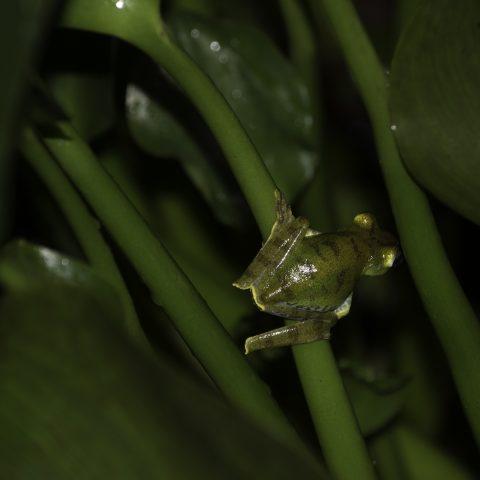Amphibien-17