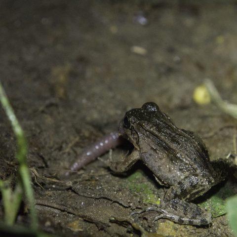 Amphibien-19