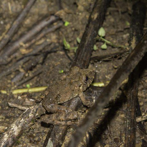 Amphibien, labiosus, Pristimantis-2