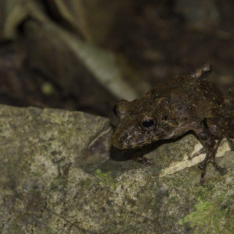 Amphibien, labiosus, Pristimantis-3