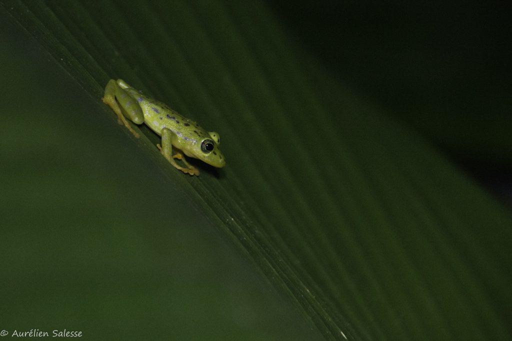 Amphibien, ornatissimus, Pristimantis
