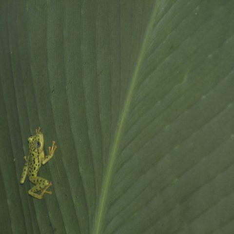Amphibien, ornatissimus, Pristimantis-2