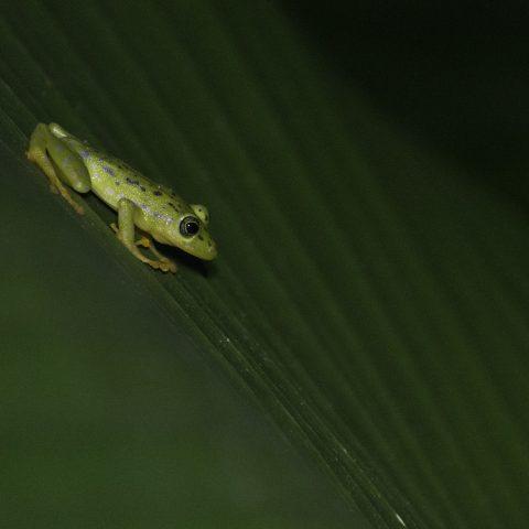 Amphibien, ornatissimus, Pristimantis-3