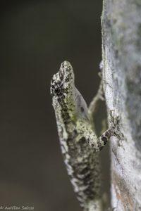 Anolis, lyra, Reptile-9