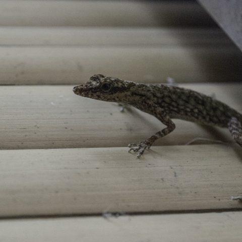 Anolis, peraccae, Reptile-4