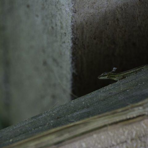 Anolis, peraccae, Reptile