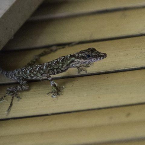 Anolis, peraccae, Reptile-5