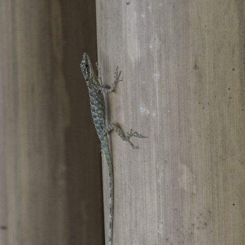 Anolis, peraccae, Reptile-6