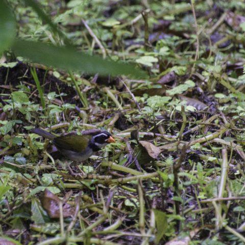 Arremon, aurantiirotris, Oiseau-2