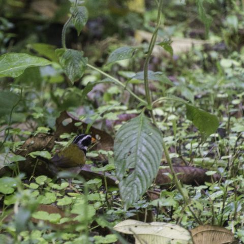 Arremon, aurantiirotris, Oiseau