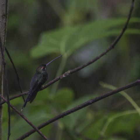 Colibri, Oiseau, Phaetornis, yaruqui-3