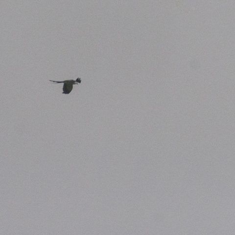 Elanoides, forficatus, Oiseau-2