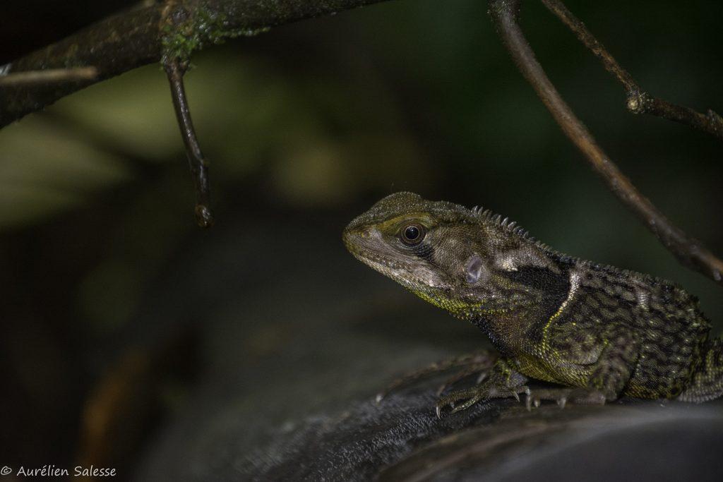 Enyalioides, heterolepis, Reptile-2
