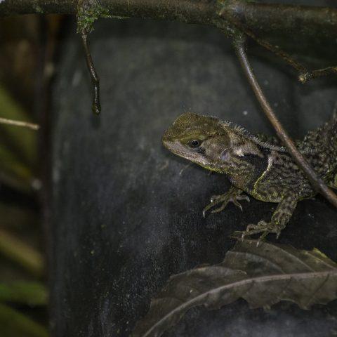 Enyalioides, heterolepis, Reptile