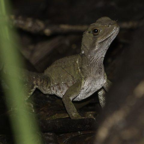 Enyalioides, heterolepis, Reptile-5