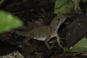 Enyalioides, heterolepis, Reptile-6