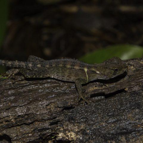 Enyalioides, heterolepis, Reptile-7