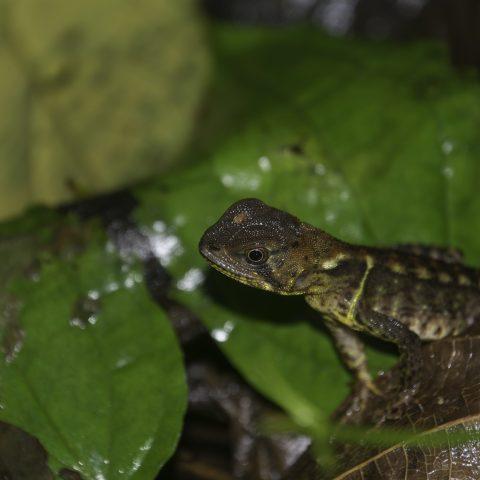 Enyalioides, heterolepis, Reptile-8