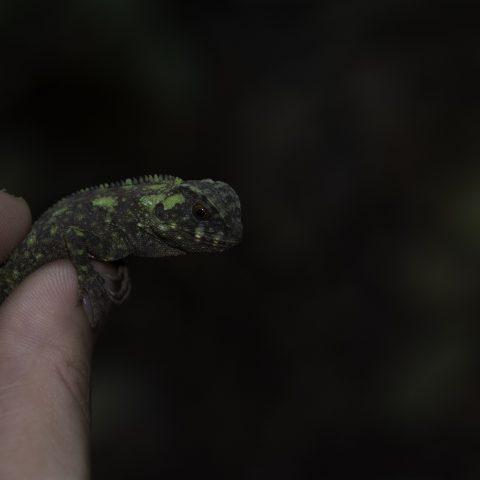 Enyalioides, oshaughnessyi, Reptile-2