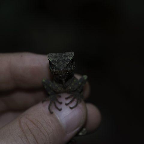 Enyalioides, oshaughnessyi, Reptile-3
